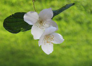 Jasmijn wordt veel gebruikt in Parfums